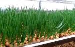 Как правильно реализовать выращивание лука на перо