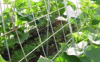 Огурцы: особенности выращивания в открытом грунте