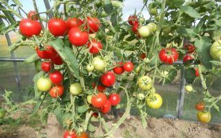 Выращивание томата сорта благовест