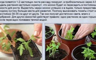 Подкормка рассады помидоров минеральными удобрениями и органикой после пикировки