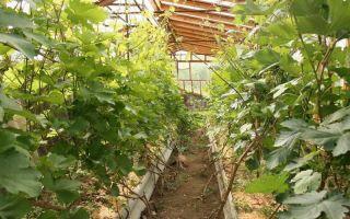 Особенности выращивания винограда в сибири в тепличных условиях