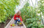 Совместная посадка огурцов и помидоров в теплице