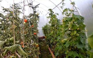 В каких случаях и почему опадают помидоры в теплице