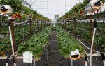 Как организовать промышленное выращивание клубники?