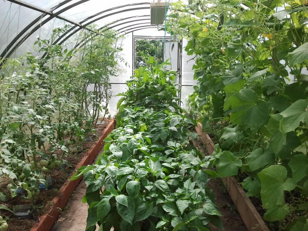 с чем можно садить помидоры в теплице