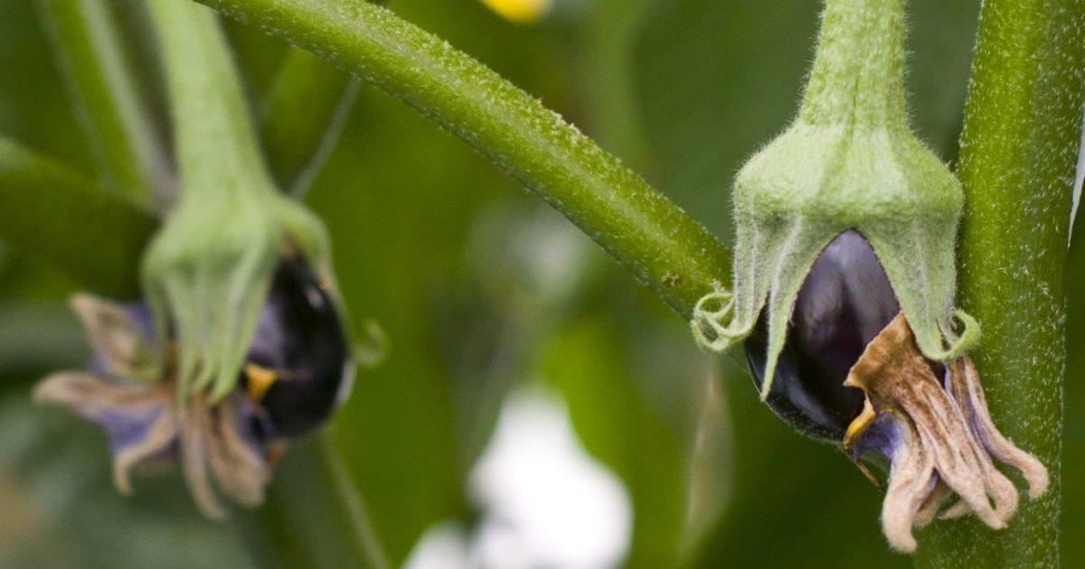 Почему опадают цветки баклажана