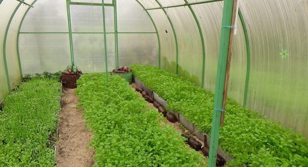 какую зелень посадить в теплице
