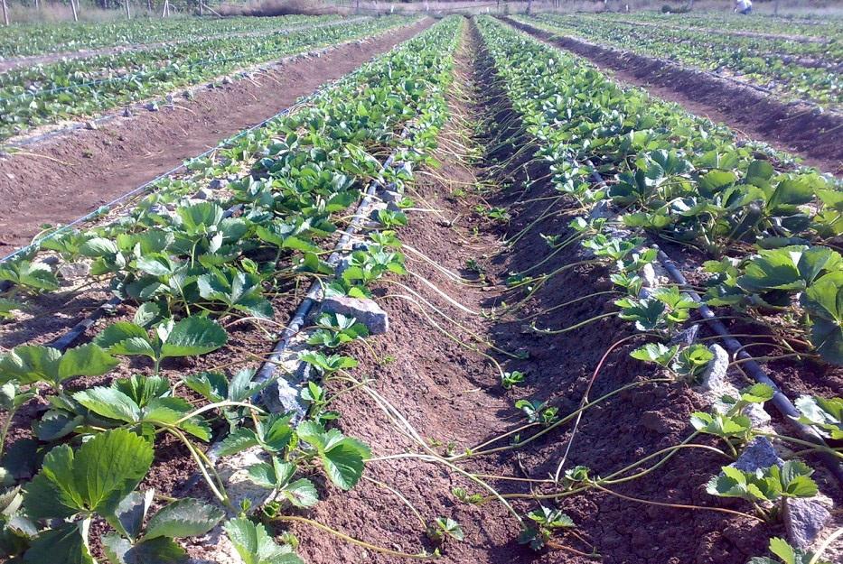 репа агротехника выращивания в открытом грунте