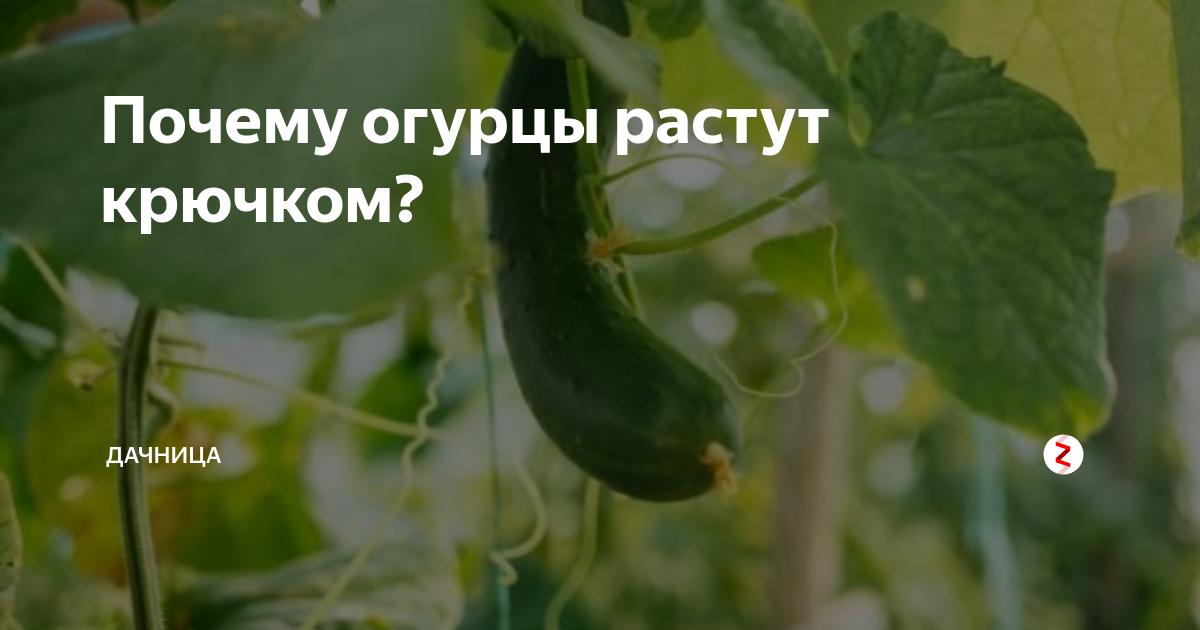 В парниках или в теплице выращивать огурцы