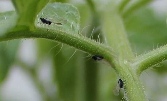 Черные и белые мошки на помидорах: как избавиться от вредителей1