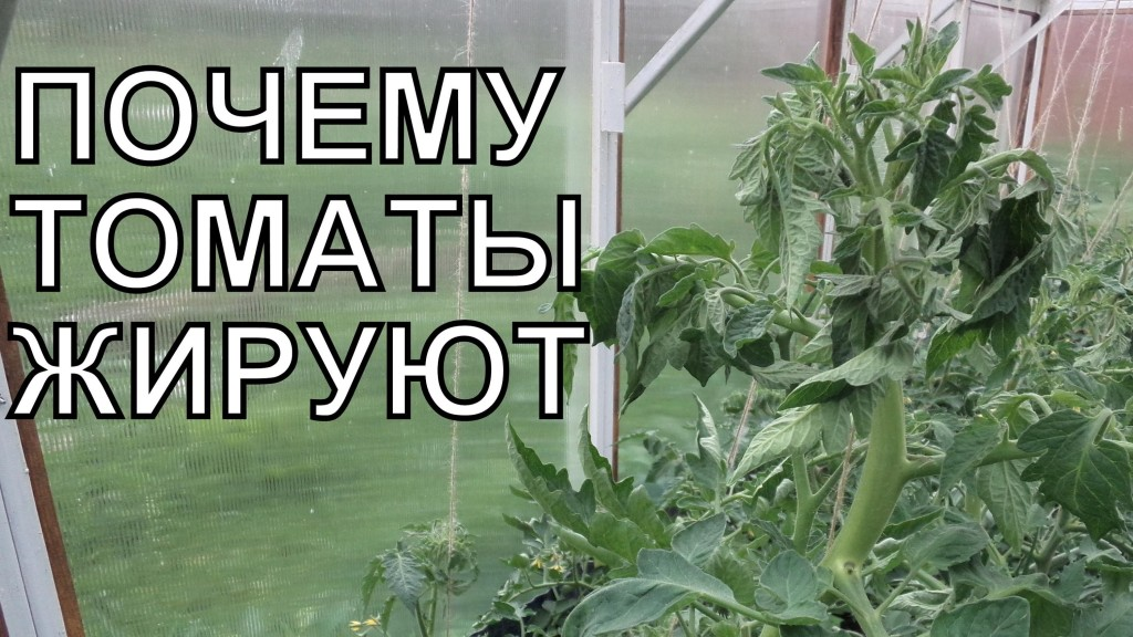 Что нужно делать если помидоры жируют2