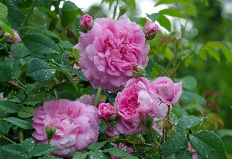 Этапы выращивания розы из семян: от маленького зернышка до благоухающего бутона1