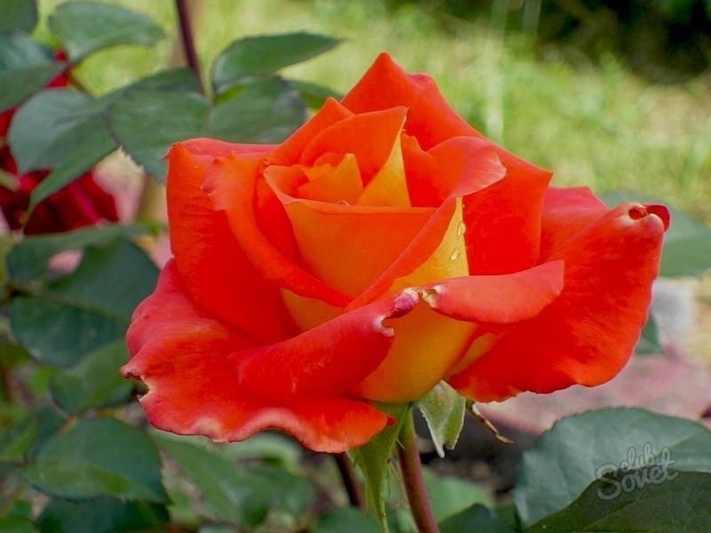 Этапы выращивания розы из семян: от маленького зернышка до благоухающего бутона4