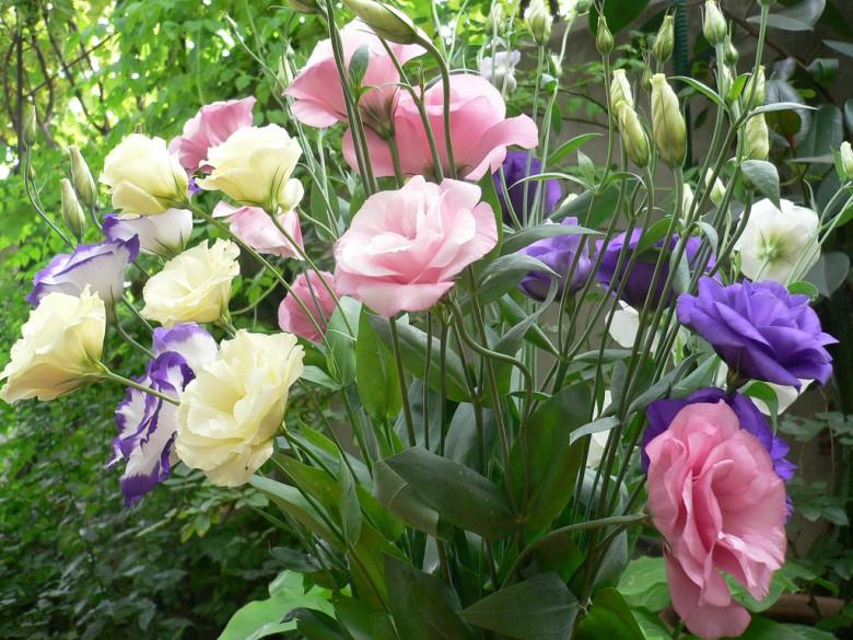 Эустома: особенности посадки и выращивания2