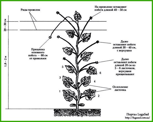 Формирование кустов огурцов при выращивании в теплице1