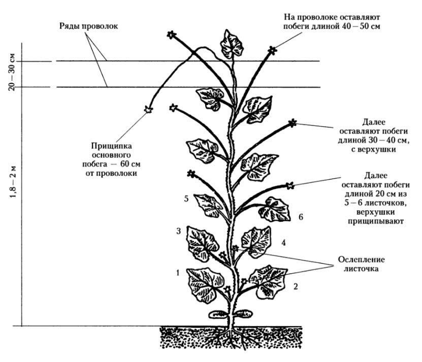 Формирование кустов огурцов при выращивании в теплице4