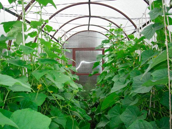 Формирование кустов огурцов при выращивании в теплице6