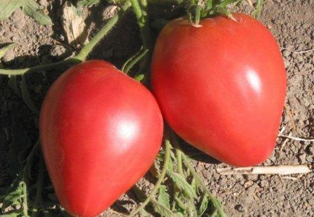 Характеристика томата орлиный клюв: отзывы и фото1
