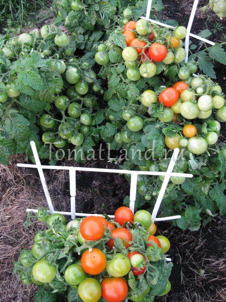 Характеристика томата пиноккио: отзывы и фото0