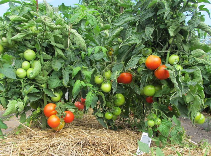 Характеристика томата яблонька россии: отзывы и фото2