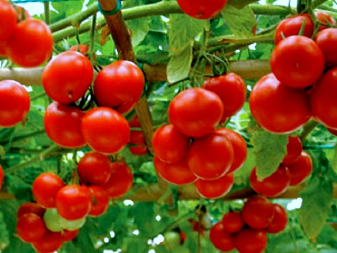 Характеристика томата яблонька россии: отзывы и фото3