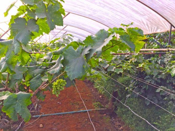 Укрытие винограда зиму агроволокном особенности