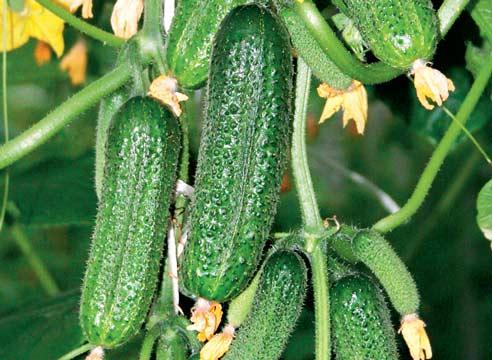 огурцы для выращивания в теплице сорта