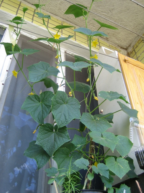 посадить огурцы дома на подоконнике