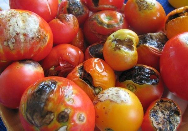 Черная плесень на помидорах в теплице. Как определить плесень на томатах и как избавиться от нее