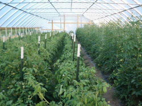 Температура для помидоров в теплице