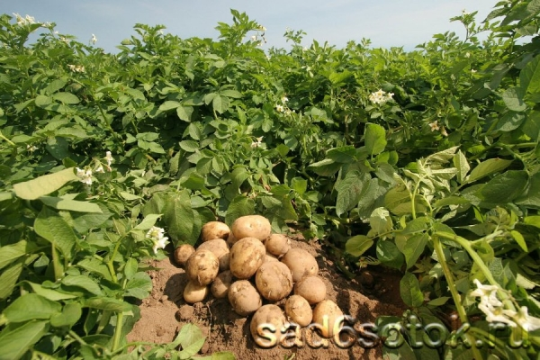Ранний картофель в теплице: агротехника выращивания4