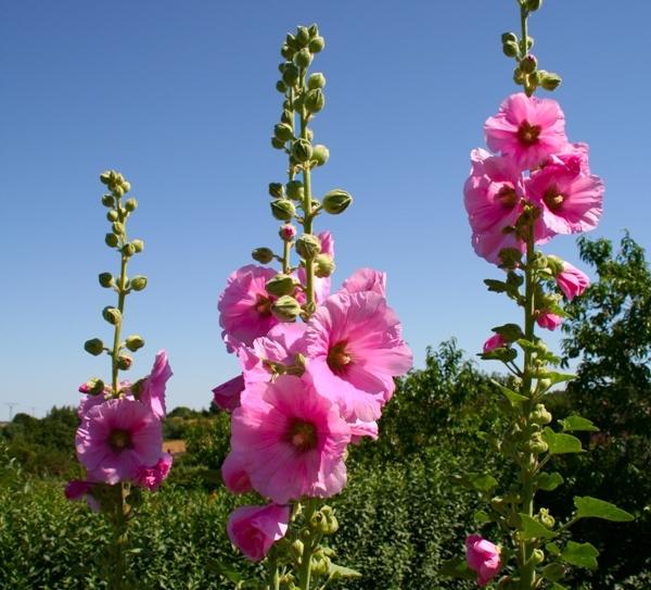 Шток-роза (мальва): выращивание, уход и лекарственные свойства1
