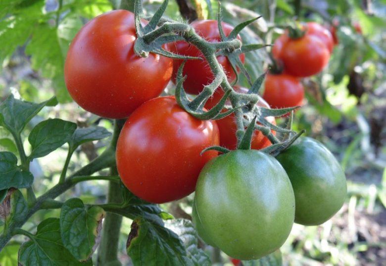 Сорта низкорослых томатов для открытого грунта без пасынкования0