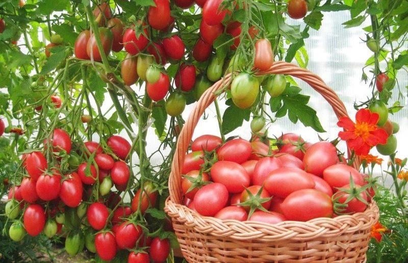 Сорта низкорослых томатов для открытого грунта без пасынкования2