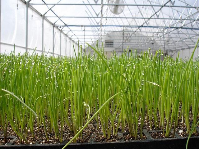 Технология и секреты выращивания лука на своем участке1
