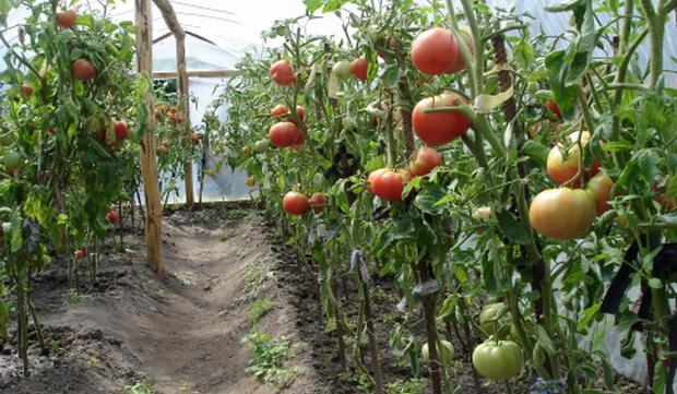 Технология посадки томатов в теплице: расстояние между рядами и саженцами3