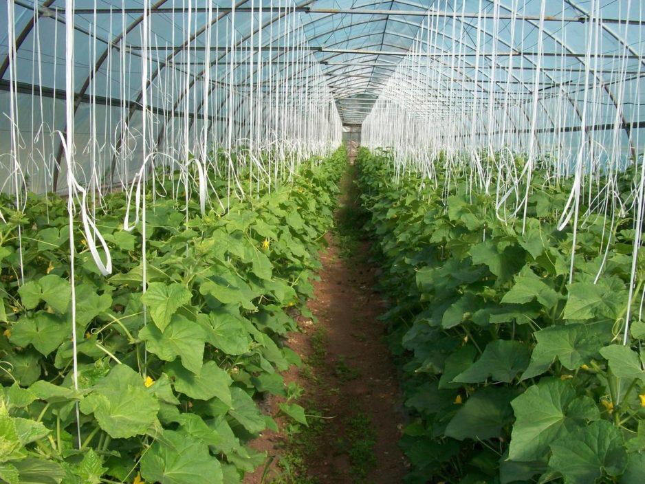 Технология выращивания огурцов в теплице4