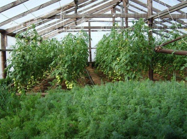 Технология выращивания укропа в открытом грунте и теплице5