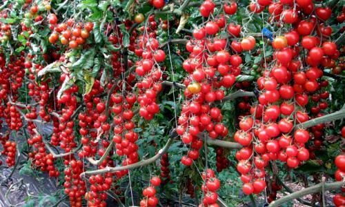 Томат рапунцель: особенности сорта и правила выращивания1