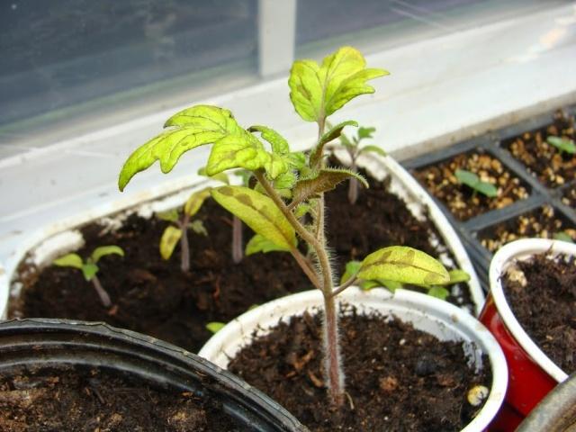 Томатные проблемы: почему гибнет рассада помидоров после пикировки?4