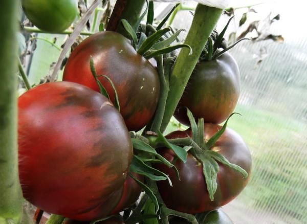 Томаты черный принц: описание сорта и технология выращивания0
