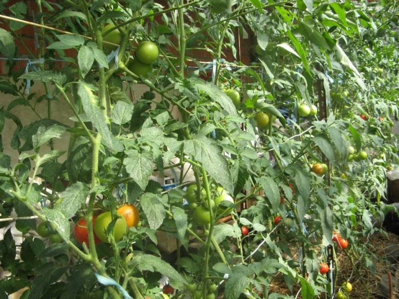 Удобрения для тепличных помидоров: схема внесения и виды0