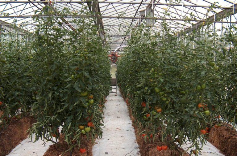 Урожайное выращивание помидоров по методу и м маслова5