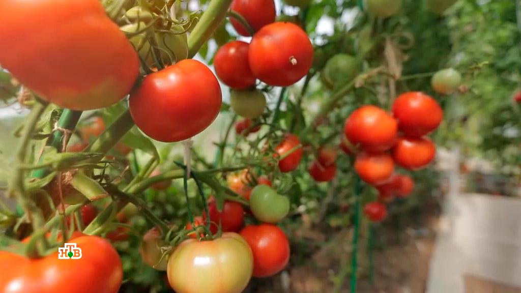 Яблок-помидор: плод селекционеров или миф?3